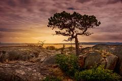 The Lone Pine (Repp1) Tags: bc canada lighthousepark westvancouver lighthouse phare landscape paysage tree arbre pine pin sunset coucherdusoleil