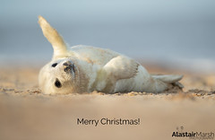 Merry Christmas! (Alastair Marsh Photography) Tags: seal seals mammal mammals mammalsociety animal animals animalsintheirlandscape wildlife wildlifephotography winter britishwildlife britishanimals britishanimal britishmammals britishmammal baby babymammal babyanimal babyanimals beach coastline coast britishcoast britishcoastline norfolk