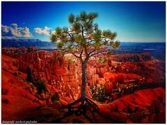 Bryce Canyon ... Tree (norbert.gudzuhn) Tags: brycecanyonnationalpark tree usa wüste amphitheater felspyramiden hoodoos national plateau canyon landscape