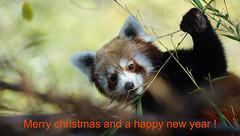Weihnachtsgruß aus Nürnberg ... (Eddy L.) Tags: tiergartennürnberg tiergartenfreundenürnbergev zoonuremberg sonyalpha77ii minoltaafhs28300mmg eddyl2019