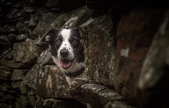 Wall Furniture (JJFET) Tags: border collie dog sheepdog herding