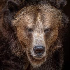 Grizzly Guy (helenehoffman) Tags: omnivore brownbear ursusarctoshorribilis wildlife grizzly mammal grizzlybear ursus conservationstatusleastconcern nature ursusarctos sandiegozoo carnivore animal coth5