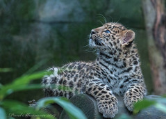 The Curiosity of the cat (muppet1970) Tags: colchesterzoo zoo bigcat cat captive amurleopard cub watching