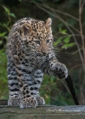 Best foot forward (muppet1970) Tags: colchesterzoo zoo bigcat cat captive amurleopard cub walking