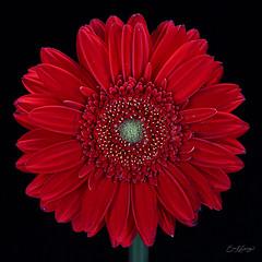 (music2fish2 (eric lanning)) Tags: flower daisy gerberadaisy bloom blossom red petals flowerscolors