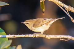Mangrove Gerygone (Alan Gutsell) Tags: mangrovegerygone mangrove gerygone warbler gerygonelevigaster australianwarbler acanthizidae passeriformes passerine tinchitambawetlands brisbane queenslandbirds queensland alan birds photography naturephoto wildlifephoto australianbird birdsofaustralia