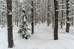 'On Track' (Canadapt) Tags: forest snow winter spruce black pine xmas tree canadapt animal tracks rabbit