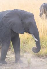 Dusting Elephant (peterkelly) Tags: digital canon 6d africa intrepidtravel capetowntovicfalls botswana chobenationalpark savannaelephant elephant dusting dirt dust choberiver tusk grassland savannahelephant