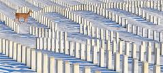 One Deer And Many Dear Ones (ioensis) Tags: deer dearones jeffersonbarracks nationalcemetery stlouis saintlouis missouri mo snow winter christmas december 2019 94890335033tmf1912211b©johnlangholz2019 johnlangholz2019 94890335033tmf191221 tombstones graves