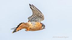 American Kestrel IMG_9709 (ronzigler) Tags: bird nature sigma american raptor falcon avian kestrel birdwatcher 150600mm canon falco sparverius
