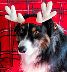 December 2019 (jayvan) Tags: dash aussie australianshepherd dog holidays home portland oregon antlers twtme red cmwd