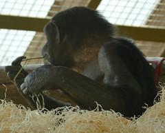 Monkey World - Ape Rescue Centre (E11y) Tags: ecr wareham monkeyworldaperescuecentre monkeyworld apes monkeys lemurs