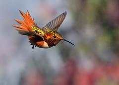 The Approach (Patricia Ware) Tags: allenshummingbird birdsinflight california canon ef400mmf4doisiiusmlens handheld kennethhahnrecreationalarea losangeles selasphorussasin ©2019patriciawareallrightsreserved specanimal