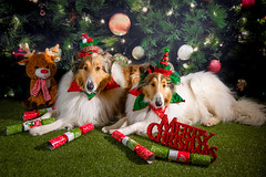 Merry Christmas (pkwebbk70) Tags: christmas merlin morgan roughcollie roughcoatedcollie dogs december whitecollie sableheadedwhitecollie sablemerle