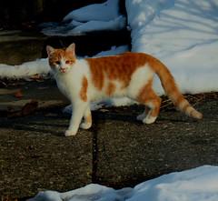 IMG_7240 (kennethkonica) Tags: cat animalplanet animal animaleyes canonpowershot canon indianapolis indiana indy usa hoosier midwest pet america random outdoor