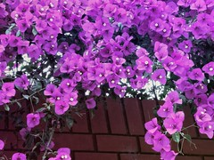 Buganvilias (MariaTere-7) Tags: flores buganvilias veraneras magdalenadelmar lima perú maríatere7