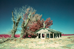 home for the holidays (color infrared xpro). mojave desert, ca. 2019. (eyetwist) Tags: eyetwistkevinballuff eyetwist color infrared mojavedesert farmhouse abandoned ruin decay desert mediumformat 6x9 xpro fujifilm gsw690iii fujinon 65mm f56 fujifilmgsw690iii fujinon65mmf56 kodak aerochrome eir kodakektachromecolorinfrared ishootfilm ishootkodak cross process processed saturated bold texasleica 120 gsw 690iii wideangle panoramic film emulsion lenstagger filmexif epsonv750pro iconla farm agriculture field alfalfa antelopevalley lancaster cottonwood tree dead dying house homestead ranch