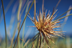 Spinifex (Stueyman) Tags: sony alpha a7 a7ii wa westernaustralia au australia rockingham perth zeiss batis batis240cf 40mm grass sky green blue outside availablelight warnbro
