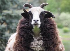 Sheep in Germany near Frankfurt in Graefenhausen (DieterLo1) Tags: tier animal sheep wolle wool schafe schaf