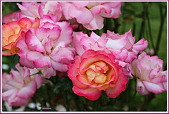 two-tone beauties! (MEA Images) Tags: roses flowers blooms flora nature gardens parks pointdefiancepark tacoma washington canon picmonkey