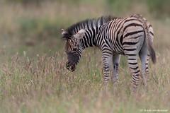 Newly Born (leendert3) Tags: leonmolenaar southafrica krugernationalpark wildlife wilderness wildanimal nature naturereserve naturalhabitat mammal burchellszebra