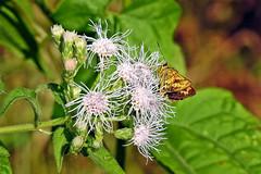 Yellow Palm Dart !! (Lopamudra !) Tags: lopamudra lopamudrabarman lopa india jayanti dooars westbengal butterfly yellow dart palmdart beautiful