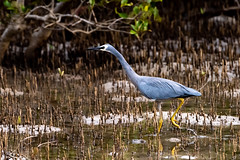 Eyes on the Prize (armct) Tags: egrettahollandiae whitefaced heron australian wader currumbin estuary creek wetland mangrove roots aerial native indigenous shalllows ripples
