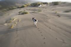 So simple.  So good. (Claudia Künkel) Tags: oregon blanca dog bordercolliemix lensbaby sweet35 beach