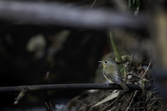 20191203-1DX27702 (siddharthx) Tags: 1dxmkii 2019 birdwatching birds breakthroughphotographyx4uv canon canon1dxmkii canon7dmkii cottoncarrierg3 dawntilldusk december2019 doiangkhang doiinthanon doilang doisanju ef100400mmf4556lisiiusm forest goldenhour hide norththailand promediageartr424lpmgprostix sachtlerfsb8t th tamron150600mmf563divcusdg2 thailand wild wildbirds wildlife animalsultans bbofig bbcearth bestbirdsofworld bestbirdsplanet bestbirdshots birdbrilliance birdsadored birdscaptures birdsillife birdsprivate earthcapture earthpix eyespybirds featherperfection featuredwildlife ipbirds kingsbirds natgeowild naturyst nutsaboutbirds nutsaboutwildlife photopond planetbirds pocketbirds wildbirdtrust wildlifecentral wildlifephotography yourbestbirds discovery wildplanet wildlifeonearth chomthong chiangmai hillblueflycatcher flycatcher hillblue