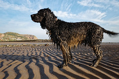 Dirty dog (Welsh fella) Tags: ricohgr rhosonsea ricoh spaniel sprockerspaniel dirty filthy dog beach northwales
