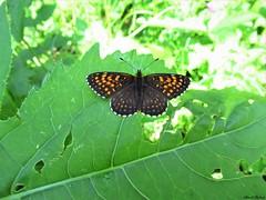 Butterfly 1907 (Melitaea diamina) (+1800000 views!) Tags: butterfly borboleta farfalla mariposa papillon schmetterling فراشة