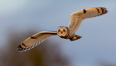 I see you! (irelaia) Tags: see you short eared owl wild bird flight stare