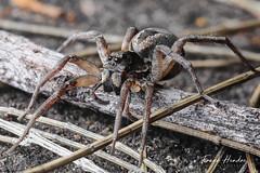 Wolf Spiders (F.Hendre) Tags: spider arachnid wolfspider australianspiders macro stack