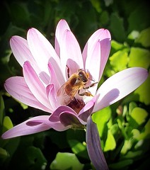 Merry Christmas! (Ioannis Ks) Tags: bee osteospermum flower garden nature insect winter crete