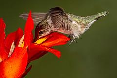 Black-chinned Hummingbird (Eric Gofreed) Tags: arizona blackchinnedhummingbird hummingbird multiflashphotography mybackyard sedona cannabulb