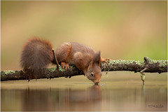 Thirsty squirrel (Gertj123) Tags: squirrel netherlands nature water wildlife reflection drinking bokeh animal arjantroost hide holterberg tree winter wild mammals rodent eyes