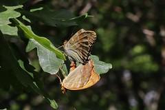 mating (Hugo von Schreck) Tags: hugovonschreck macro makro insect insekt butterfly schmetterling canoneosm50 tamronsp90mmf28divcusdmacro11f017