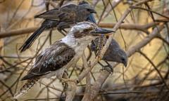 41°C, alice river - a jackass lunch (Fat Burns ☮) Tags: bird australianbird dacelonovaeguineae laughingkookaburra australianicon nature fauna outdoors australia qld kookaburra barcaldine australianfauna nikond500 aliceriver nikon200500mmf56eedvr lagooncreekbarcaldine h