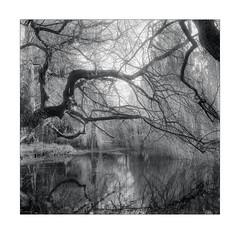 Weeping willow, Cambridge Botanical Garden (aka_filmphotography.blog) Tags: 120film cambridge camerayashicamat124g ei1600 filmilfordhp5 filmdeveloperhc110dilb mediumformat mono