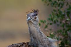 Kori Bustard (leendert3) Tags: leonmolenaar southafrica krugernationalpark wildlife wilderness wildanimal nature naturereserve naturalhabitat bird koribustard ngc
