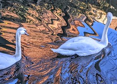Swans on the canal (Tony Worrall) Tags: bird swan canal show natural wildlife nice beauty light lit reflection wet water swans cute white outdoors buy sell sale bought item stock ilobsterit instagram preston shadows waves wavey beautiful life location places english british lancashire northern north northwest dailyphoto photos photohour