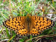 Butterfly 1908 (Boloria (Clossiana) euphrosyne) (+1800000 views!) Tags: butterfly borboleta farfalla mariposa papillon schmetterling فراشة