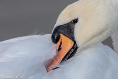 So soft...... (Linda Martin Photography) Tags: dorset wildlife nature bird muteswan cygnusolor longhamlakes uk animal naturethroughthelens coth coth5 alittlebeauty ngc specanimal npc