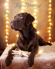 Felices fiestas (Enrique J. Mateos Mtnez) Tags: pets dog navidad perro lights bokeh estudio canon5d markiv labrador 50mm14