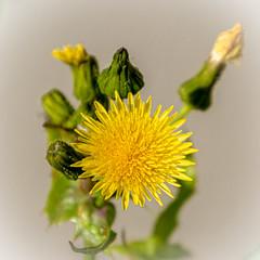 Une simple fleur (balese13) Tags: 100nikon 16300 d5500 nikonpassion tamronaf16300mmf3563dillvcpzdmacrob016 yourbestoftoday balese fleur flower garden jardin jaune nikon nikonistes pixelistes tamron yellow 250v10f 500v20f 1000v40f