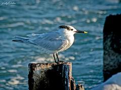 🇺🇸 Sandwich tern KW 0837 (vickyoutenphoto) Tags: vickyouten sandwichtern tern wildlife nature nikon nikond7200 nikkor55300mm keywest florida usa