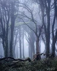 Foggy Morning (jorgeverdasca) Tags: cold dark ivy trees goth landscape woodland forest autumn mist fog nature sintra portugal