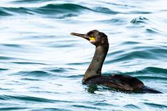 Allô, non mais à l'eau quoi !!! (Assouende) Tags: animaux cormoran oiseau nabilla eau mer océan noir nage