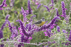 "Cambacica_""Coereba flaveola"" (Ruy de Menezes Coitinho) Tags: aves brasil belo birdwatching bird beautifulbird brasília centrooeste ornitologia ornitology pássaros"