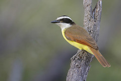 Great Kiskadee (Greg Lavaty Photography) Tags: greatkiskadee pitangussulphuratus texas december bentsen riograndevalley statepark worldbirdingcenter hidalgocounty outdoors bird nature wildlife